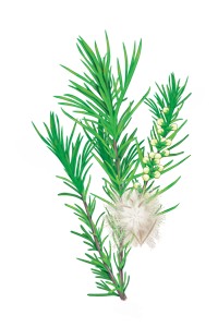 Tea Tree - Melaleuca striedavolistý